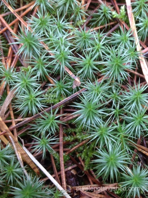 Forest floor, starry moss.jpg