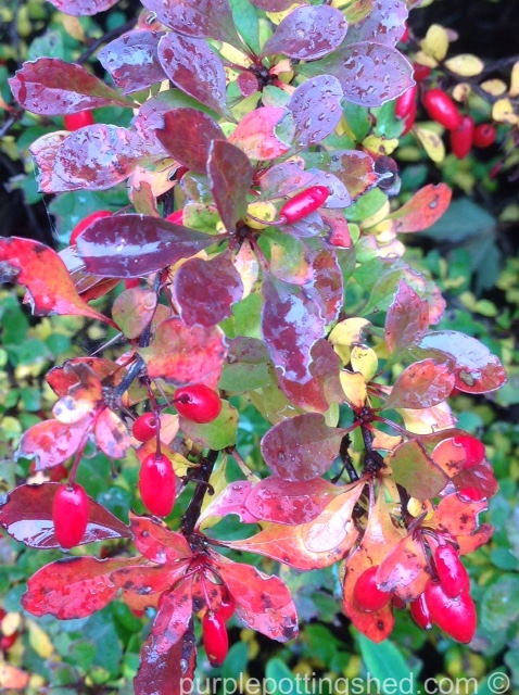 Barberry, autumn colour and berries.jpg