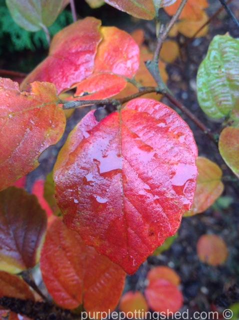 Fothergilla, autumn colour.jpg