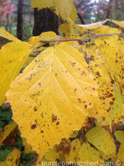 Hazel, autumn colour.jpg