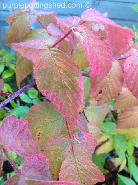 Blackberries, autumn colour.jpg