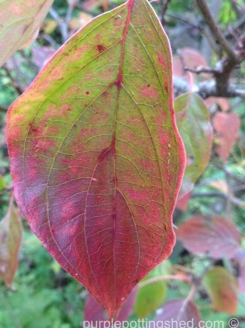 Pagoda dogwood, autumn colour.jpg