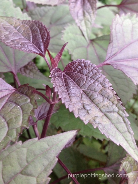 Chocolate boneset early foliage.jpg