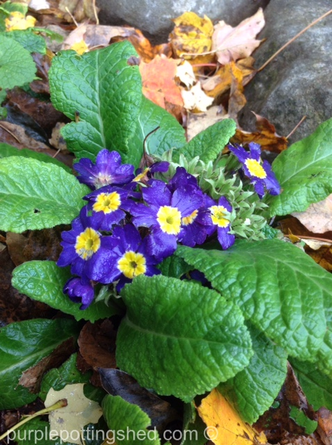 Primula purple in October.jpg