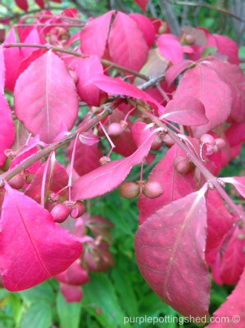 Burning bush, berries.jpg