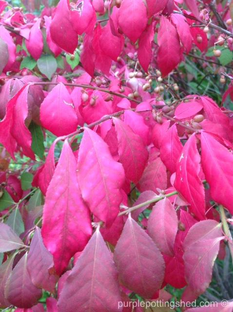 Burning bush, leaves.jpg