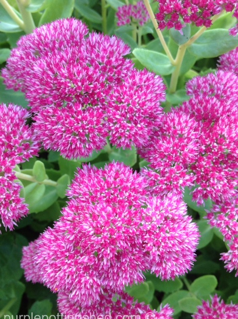 Sedum bloom closer.jpg