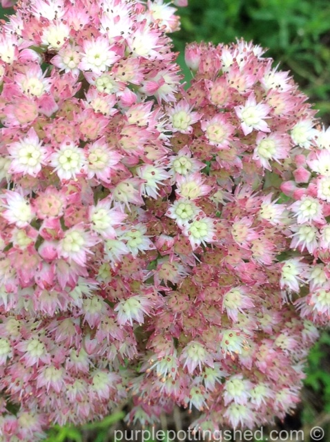 Sedum bloom.jpg