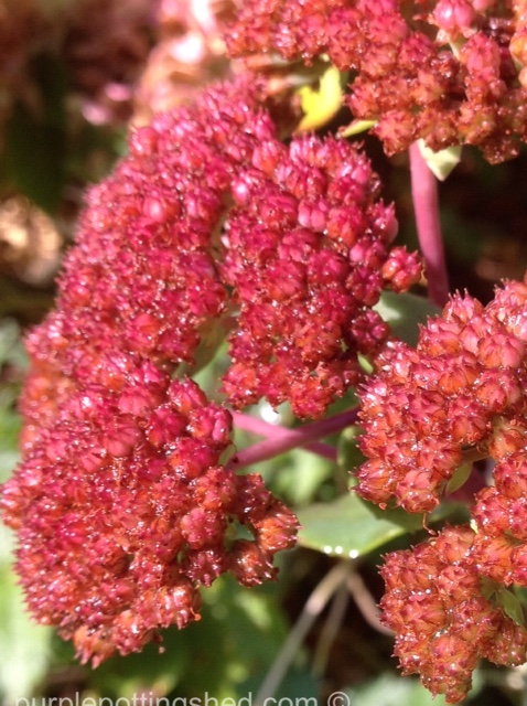 Sedum matrona, aged bloom.jpg