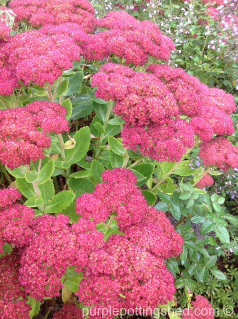 Sedum, early bloom.jpg