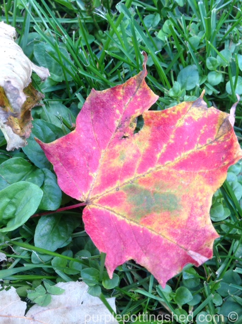 Maple leaf, green spot.jpg
