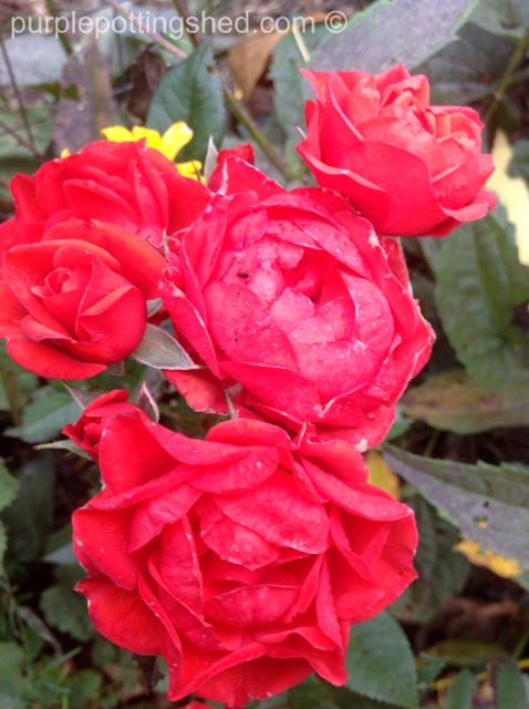 Roses in Oct, 3.jpg