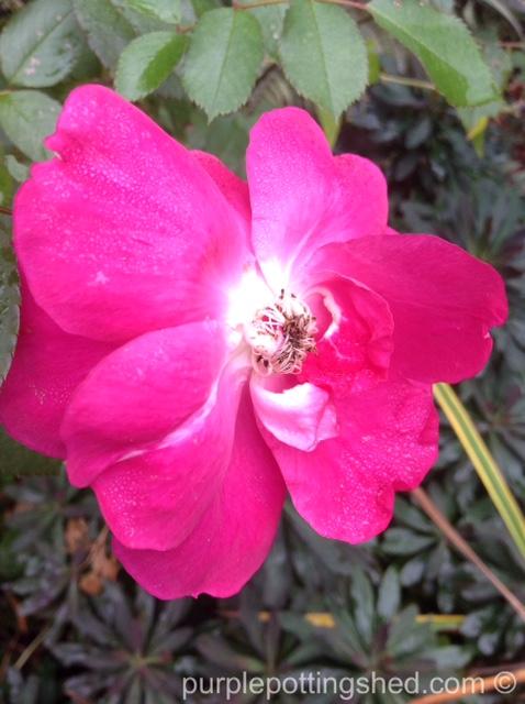 Roses in Oct, 4.jpg