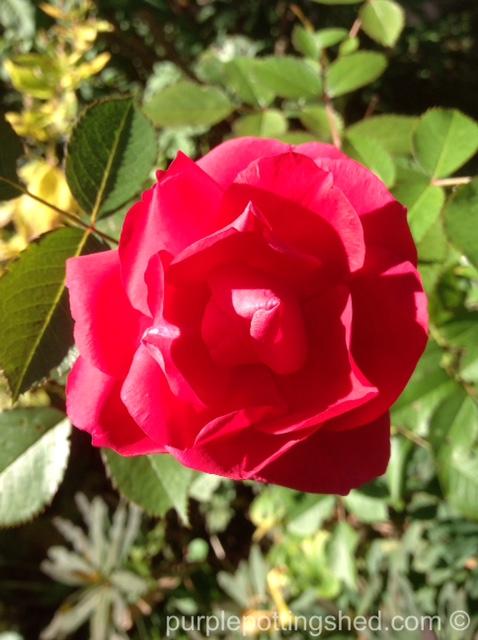 Roses in Oct, 5.jpg