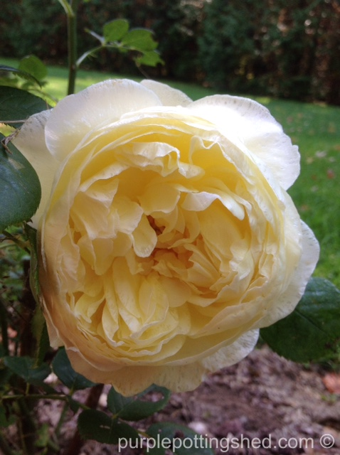 Roses in Oct, 8.jpg