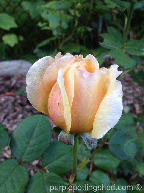 Roses in Oct, 7.jpg