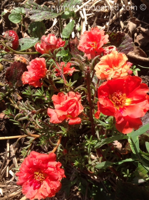 Portulaca in the strawberries.jpg