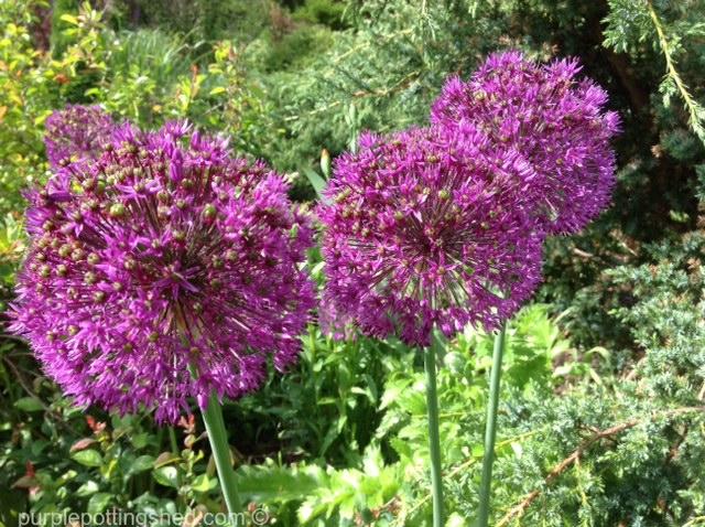 Allium, Purple Sensation.jpg