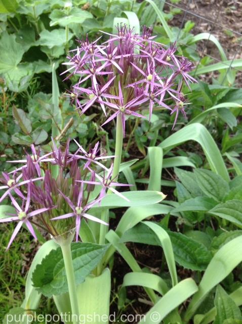 Allium, Star of Persia.jpg