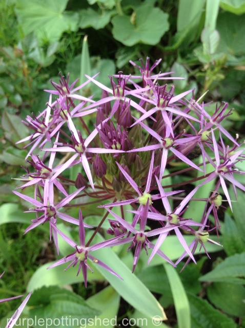 Allium, Stars of Persia.jpg