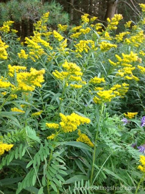 Goldenrod in meadow.jpg