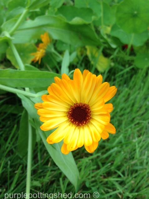 Calendula.jpg