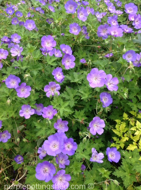 Hardy geranium.jpg
