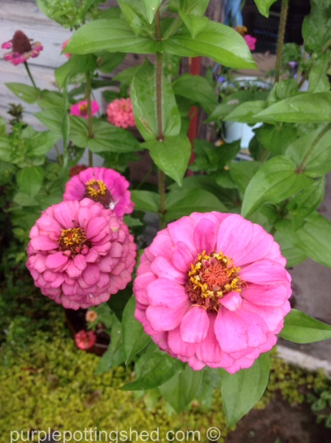 Zinnias.jpg