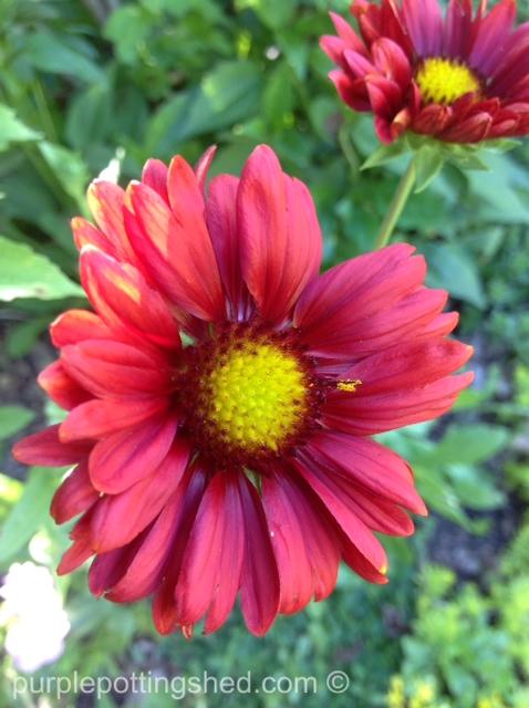 Blanket flower, burgundy.jpg