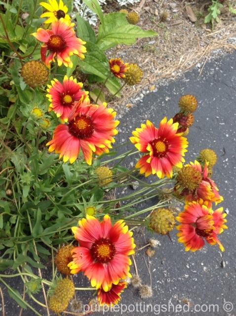 Blanket flower, side of driveway.jpg