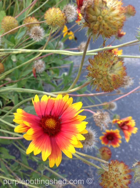 Blanket flower, spent blooms and seed heads.jpg