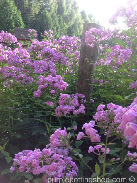 Garden phlox and post.jpg