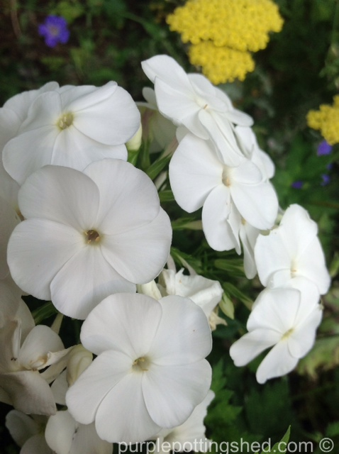 Garden phlox, white.jpg