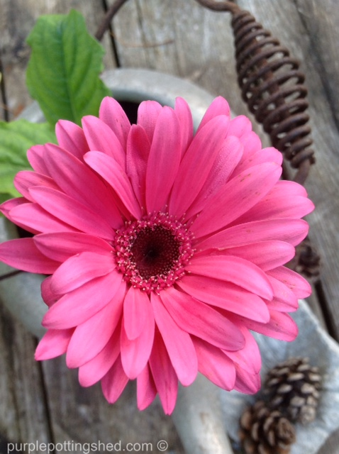 Gerbera daisy.jpg