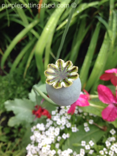 Peony poppy seed head.jpg