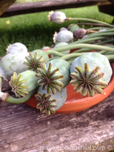 Peony poppy seed heads.jpg