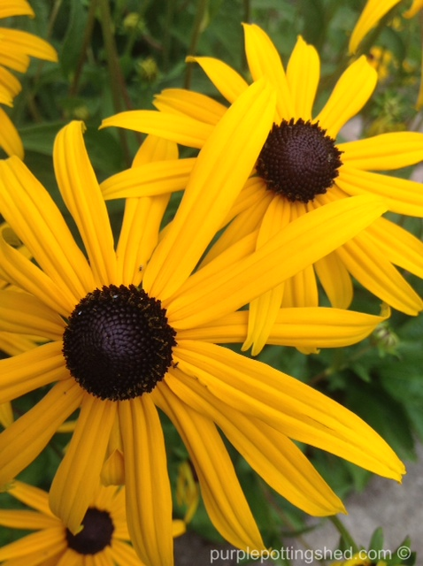 Rudbeckia, dreamy brown centers.jpg