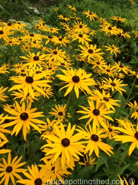 Rudbeckia, wave of colour.jpg