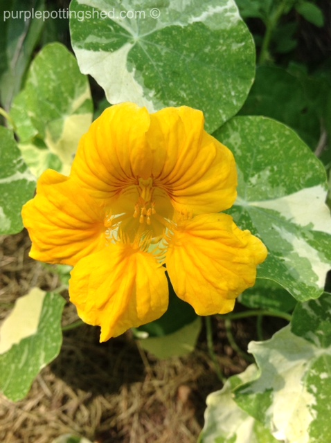 Nasturtium in gold.jpg