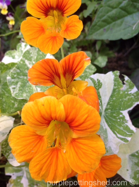 Nasturtium, golden row.jpg