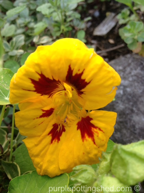 Nasturtium, golden with tiger stripe.jpg