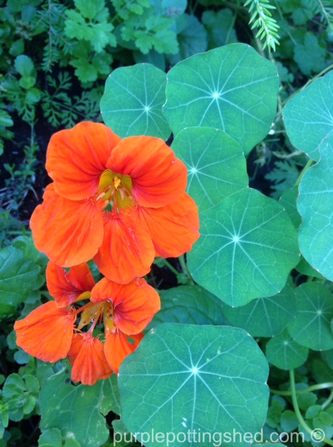 Nasturtium with leaves.jpg