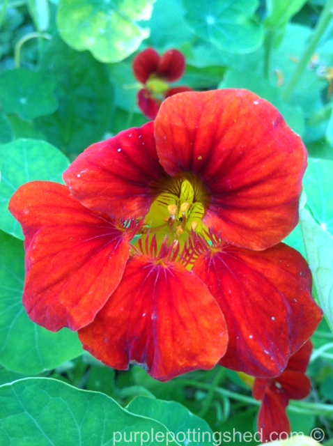 Nasturtium, red.jpg