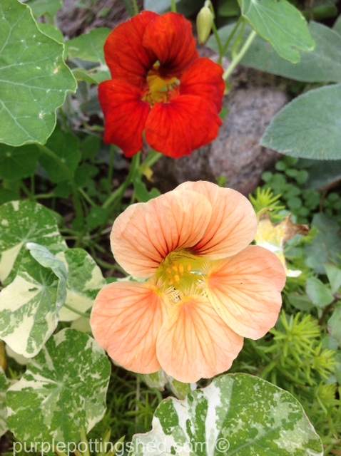 Nasturtium, peach.jpg