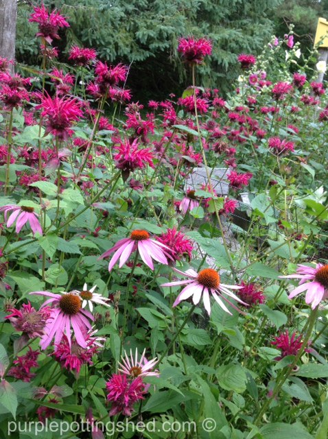 Bee balm and cone flower.jpg