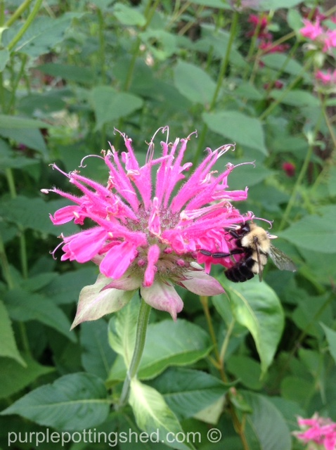 Bee balm and bee.jpg