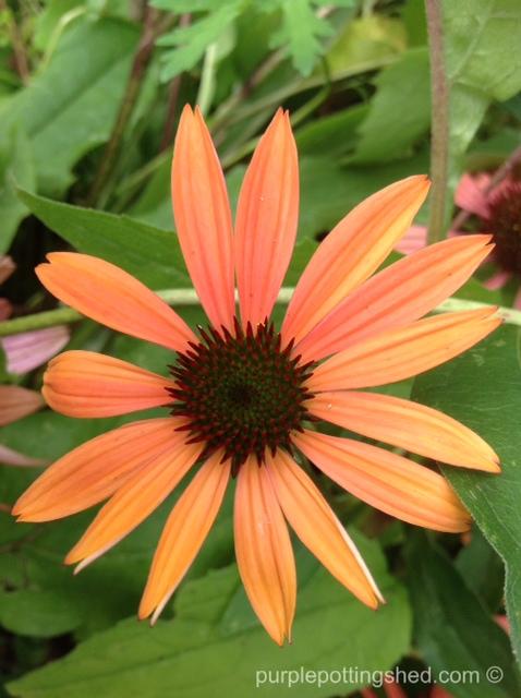 Cone flower, 'summer sky'.jpg