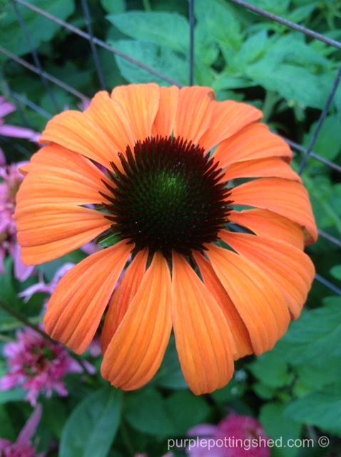 Cone flower, 'tangerine dream'.jpg