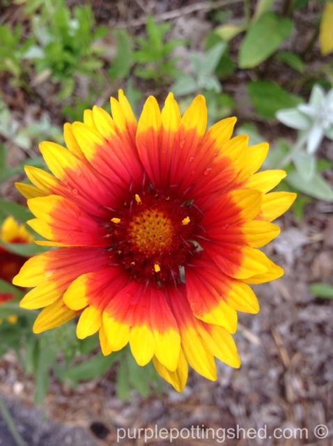 Blanket flower, single bloom.jpg