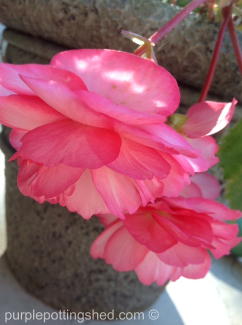 Begonia, pink & white.jpg
